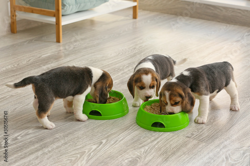 Photo Cute beagle puppies eating food from bowls at home