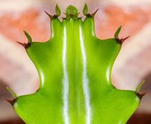 Gros Plan Sur Euphorbia Lactea