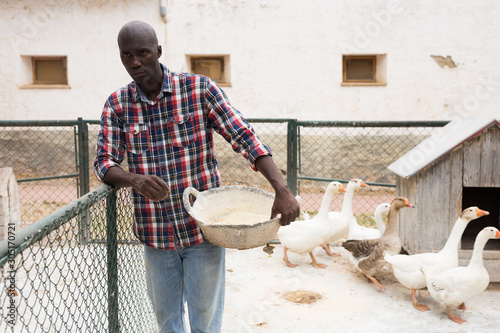 Cuadros en Lienzo Man farmer  standing near enclosure gooses with  bird feed
