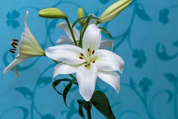 Fototapeta na wymiar Close up of white calla lilies on a blue background.