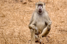 African Baboon With A Very Ser...