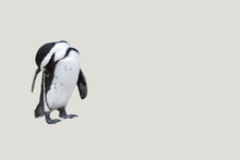 Penguin On White Background