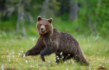 Brown Bear Is Walking Through ...