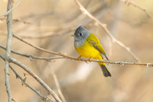 Grey-headed Canary-flycatcher ...