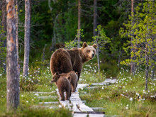 She-bear With Cubs Goes Into The Woods Along A Wooden Walkway. White Nights. Summer. Finland.
