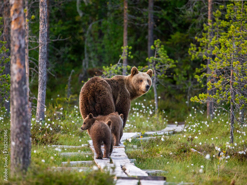 Murais de parede She-bear with cubs goes into the woods along a wooden walkway