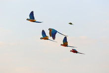 Colorful Flock Of Parrot Flyin...