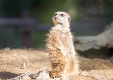 A Meerkat Standing On A Log An...