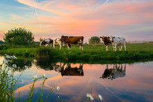 Cows In The Dutch Polder Landscape At Sunset. Beautiful Colors In The Sky And Reflections In The Calm Water.