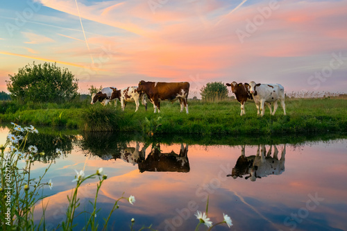 Photo Cows in the dutch polder landscape at sunset