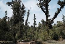 Wild Big Tree In Langtang Hima...