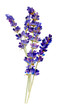 Tender bouquet of lavender hand drawn in watercolor isolated on a white background. Watercolor illustration.  Ideal for creating invitations, greeting and wedding cards, patterns