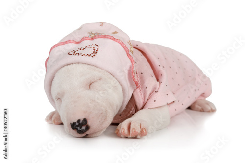 Foto Funny Miniature Bull Terrier puppy sleeping