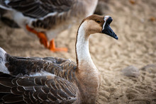 Portait Of Adult Chinese Goose...