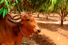 Indian Cow Under The Mango Tre...