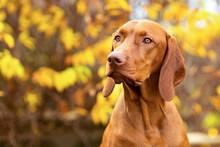 Cute Hungarian Vizsla Dog Side View Close Up Portrait In Beautiful Fall Garden.