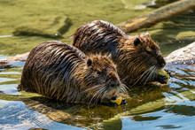 Coypu, Myocastor Coypus, Also ...