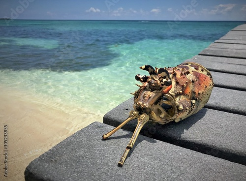 Photo Lobster in the Cayman Islands