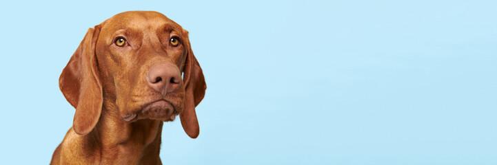 Cute hungarian vizsla puppy studio portrait. Dog looking at the camera headsh...