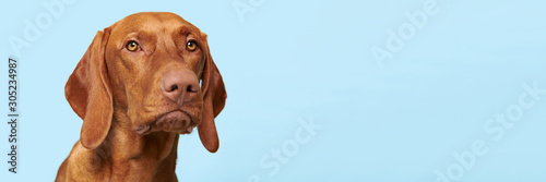 Fotobehang Vrouw gezicht Cute hungarian vizsla puppy studio portrait. Dog looking at the camera headshot over blue background banner.