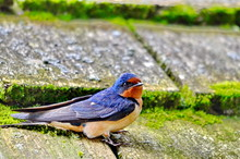 Barn Swallow Sitting On Moss Covered Shingled Roof