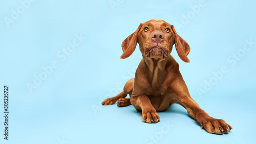 Papel de parede Cute hungarian vizsla puppy studio portrait
