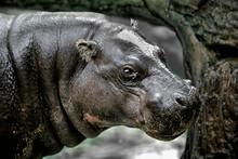The Pygmy Hippopotamus (Choero...