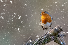 Little Robin Red Breast Perche...