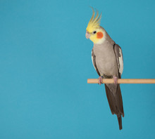 Cockatiel Isolated On Blue Background, Best Parrot Pictures. Copy Space