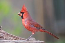 Northern Cardinal Backyard Home Feeder