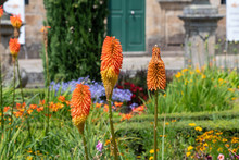 Set Of Kniphofia/Red Hot Poker At A Garden