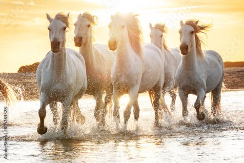 Obraz White horses in Camargue, France. - fototapety do salonu