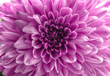 Pink Chrysantheme Nahaufnahme