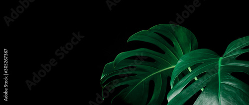 Beautiful monstera leaves (leaf) on black color for decorating composition design background