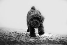 Miniature Schnauzer Black Pupp...