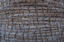 Bark Of Washingtonia Robusta P...