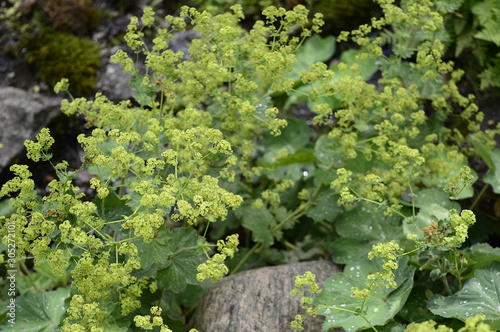 Carta da parati Closeup Alchemilla mollis known as lady mantle with blurred background in summer