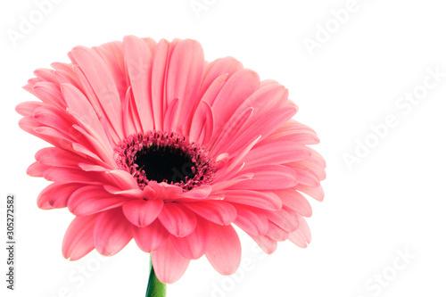 Pink gerbera on white background