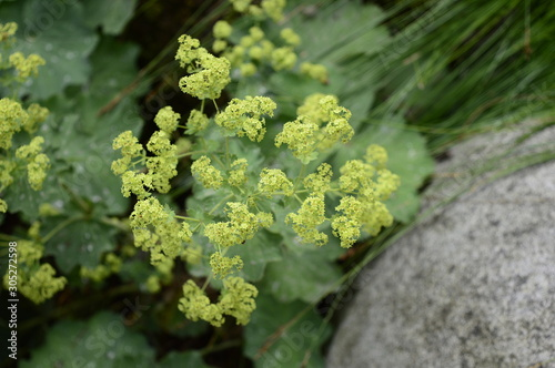 Fotografia Closeup Alchemilla mollis known as lady mantle with blurred background in summer