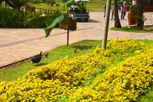 Cute Ducklings In The Grass, B...