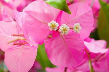 Unusual Bougainvillea Flowers Close-up