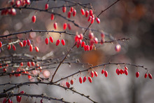 Bush Of Barberry. Barberry Wit...