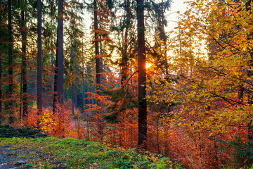 Fototapeta Las Amazing autumn morning on the mountain trail.