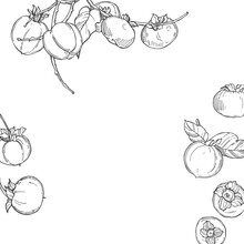 Hand Drawn Persimmon. Vector  ...