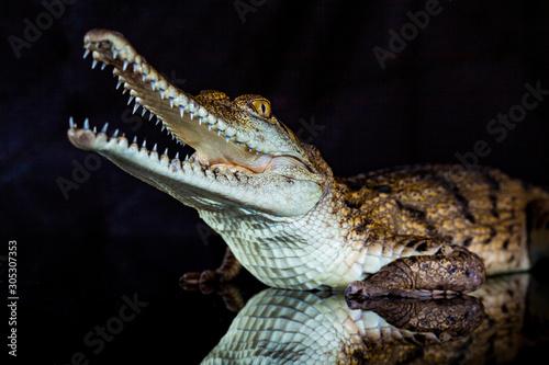 Fresh water crocodile - native animal in northern Australia, studio Wallpaper Mural