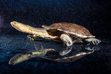 Australian Eastern Long-necked Turtle In Heavy Rain On Black Mirror
