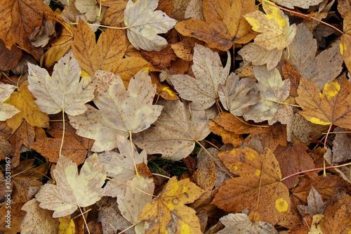 colori d'autunno; tappeto di foglie di acero (Acer pseudoplatanus) Canvas Print