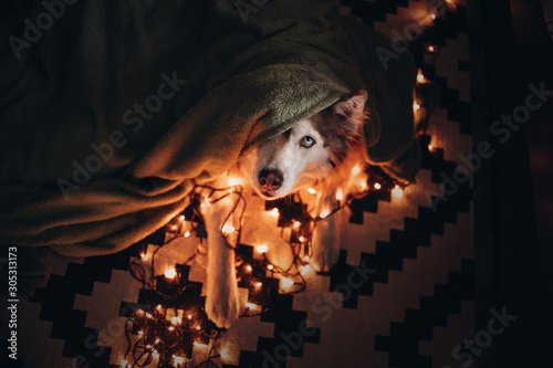 Christmas dog hiding from fireworks under blanket with warm lights Fototapet