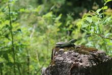 A Green Lizard Basks In The Su...