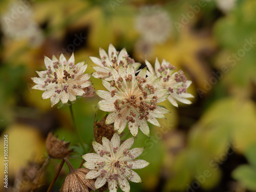 Astrantia Buckland flowers in an autumn garden Wallpaper Mural